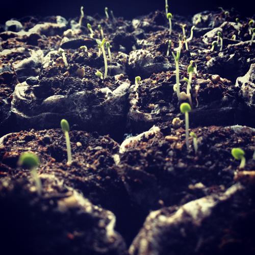 Basil sprouting