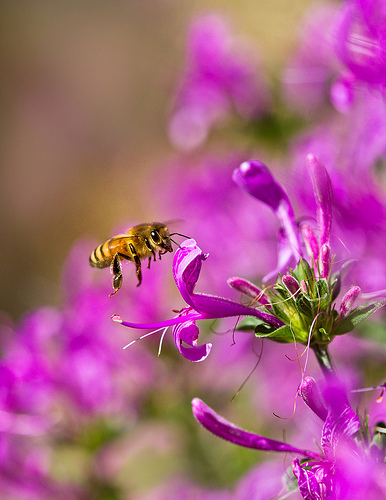honey bee flying to flower