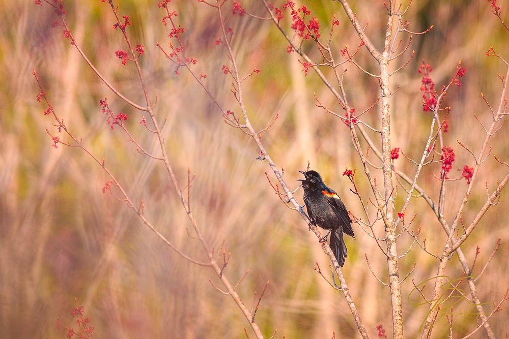 Male red-winged blackbird in full song