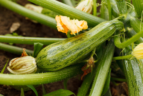 Zucchini Growing in Garden