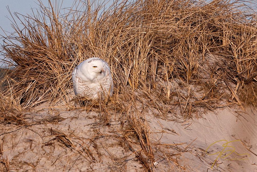 Snowy owl in the sand dunes of Hampton Beach
