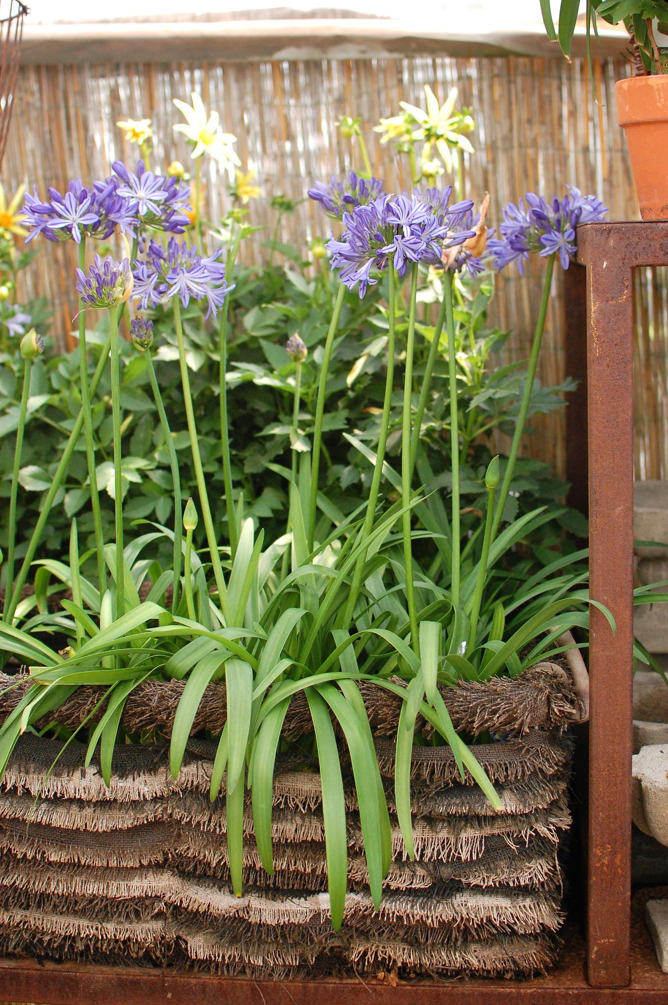 Agapanthus in Raffia Planter