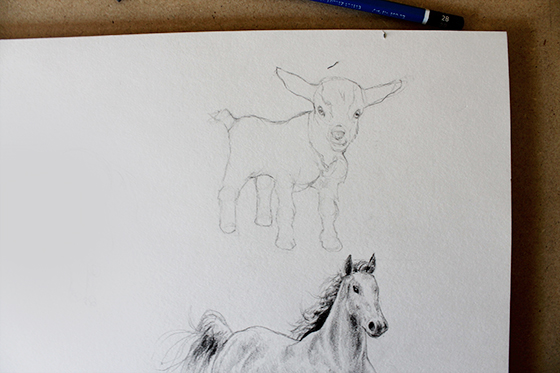 Outline and sketch of goat