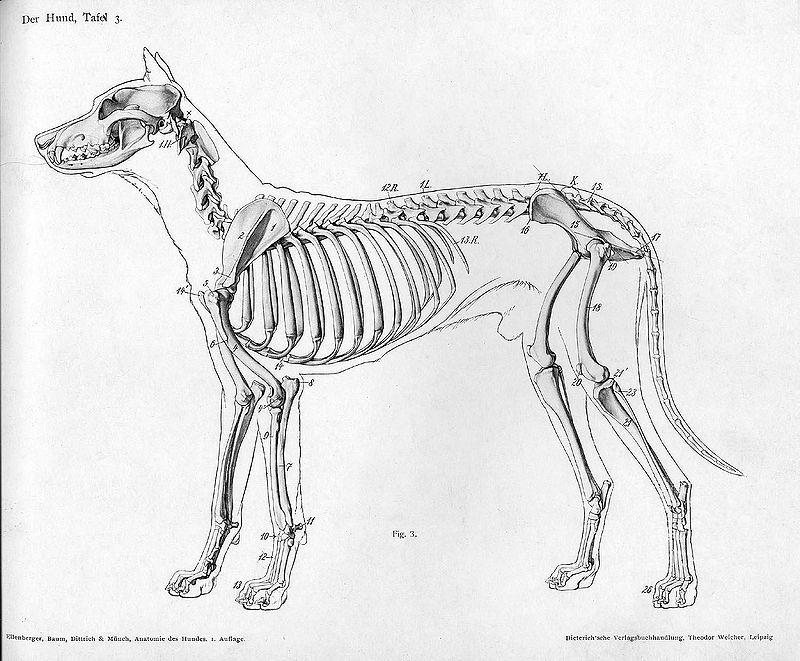 Dog anatomy skeleton