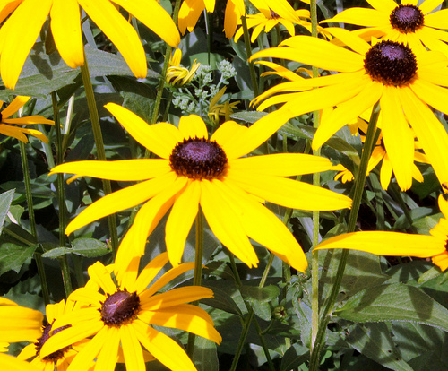 Black-Eyed Susan wildflowers can be grown in containers.