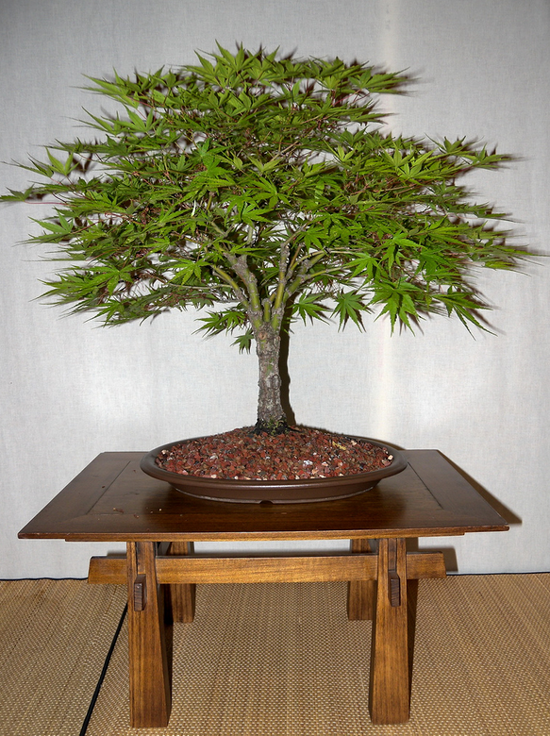 broom style bonsai