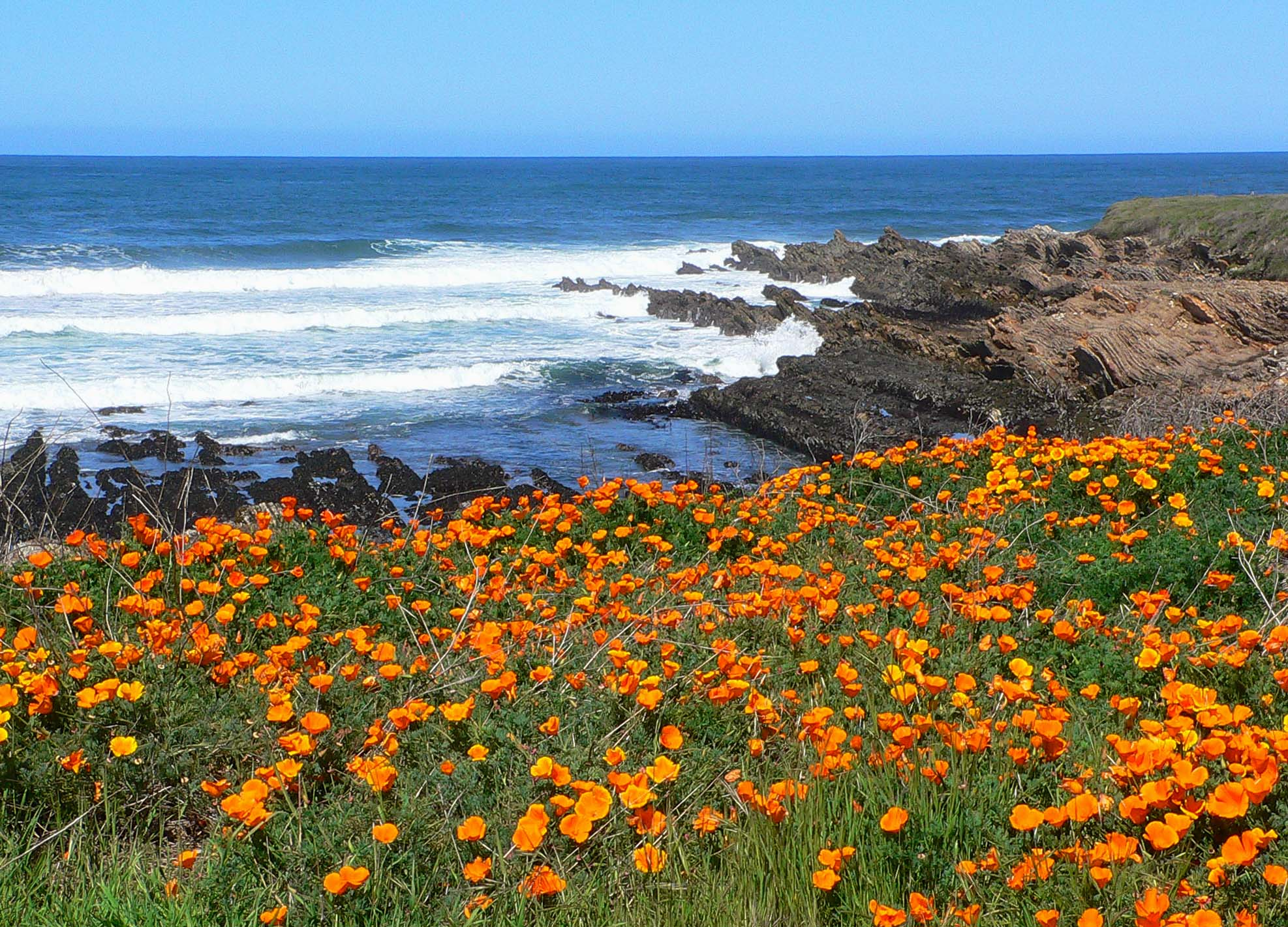 California poppies are beautiful wildflowers to grow.