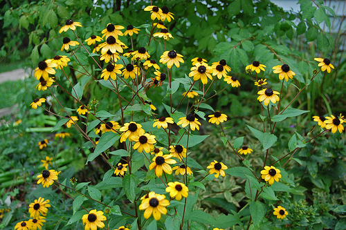 Big blooming rudbeckia is often called black-eyed susan.