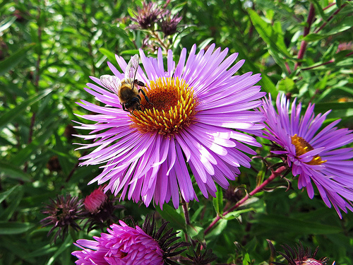 Aster with bee for fall flowers