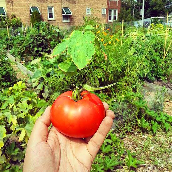 harvesting tomato