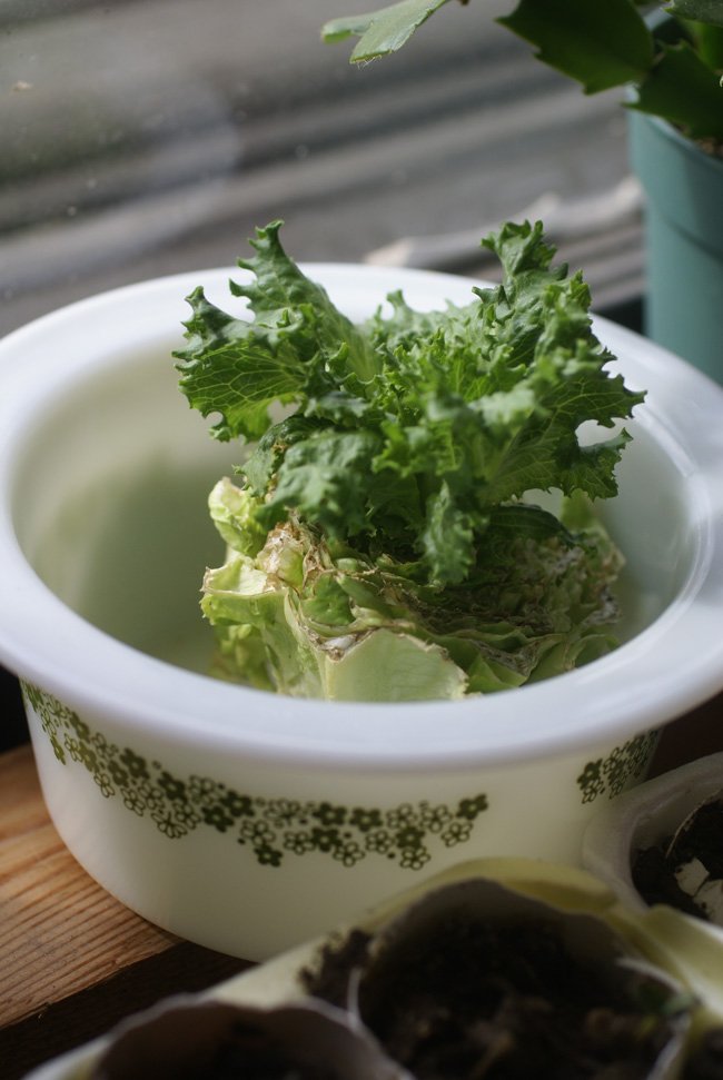 Lettuce growing in a dish