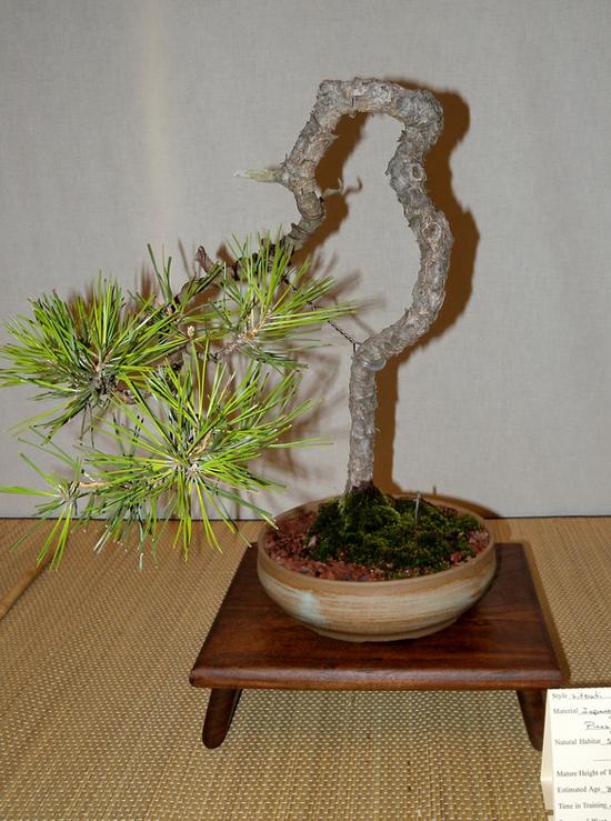 Literati bonsai