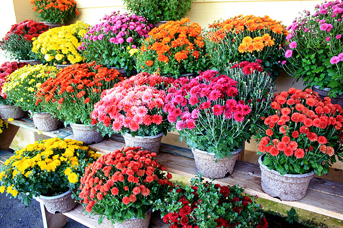 mums in different colors are flowers for fall beauty