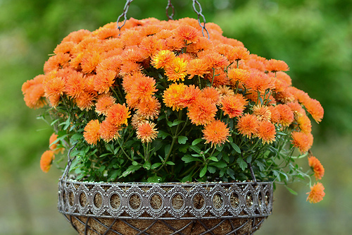 Orange mums in hanging basket are flowers for fall beauty