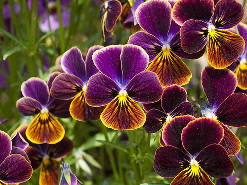 Pansies in purple and gold are lovely flowers for fall beauty