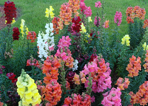 Snapdragons in rainbow of color for the fall garden