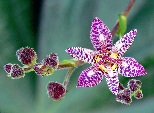 Toad lily has an lovely orchid-flowers for fall beauty