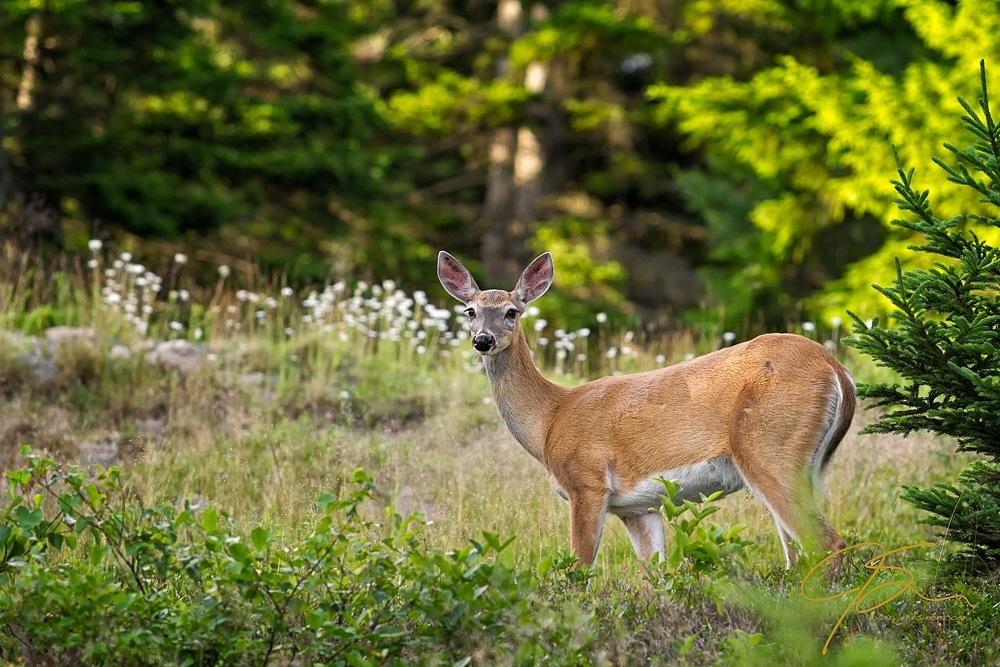 Whitetail Doe, Cadillac Mountain, Acadia National Park.