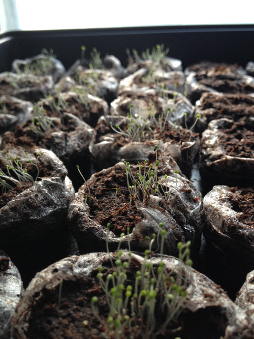 Oregano seedlings