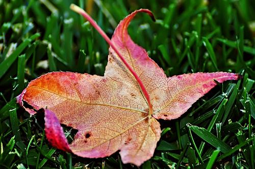Fall leaf on lawn