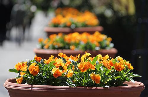 Pansies grow in this cheerful urban garden design