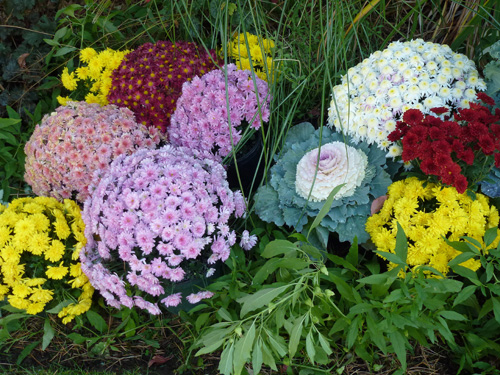 Mums add color to fall gardening