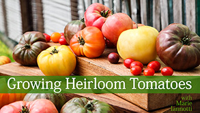 Title Card for Growing Heirloom Tomatoes Craftsy Class