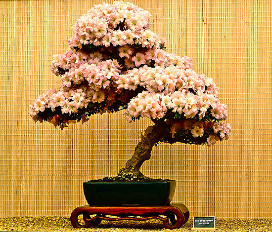 Azalea Flowering Bonsai