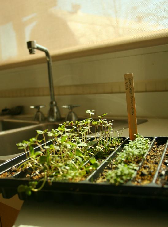 Indoor Vegetable Garden Starts