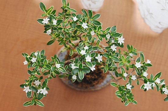 Serissa Flowering Bonsai