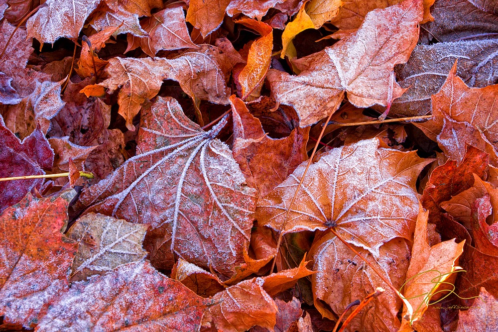 Frost covered maple leaves on the forest floor