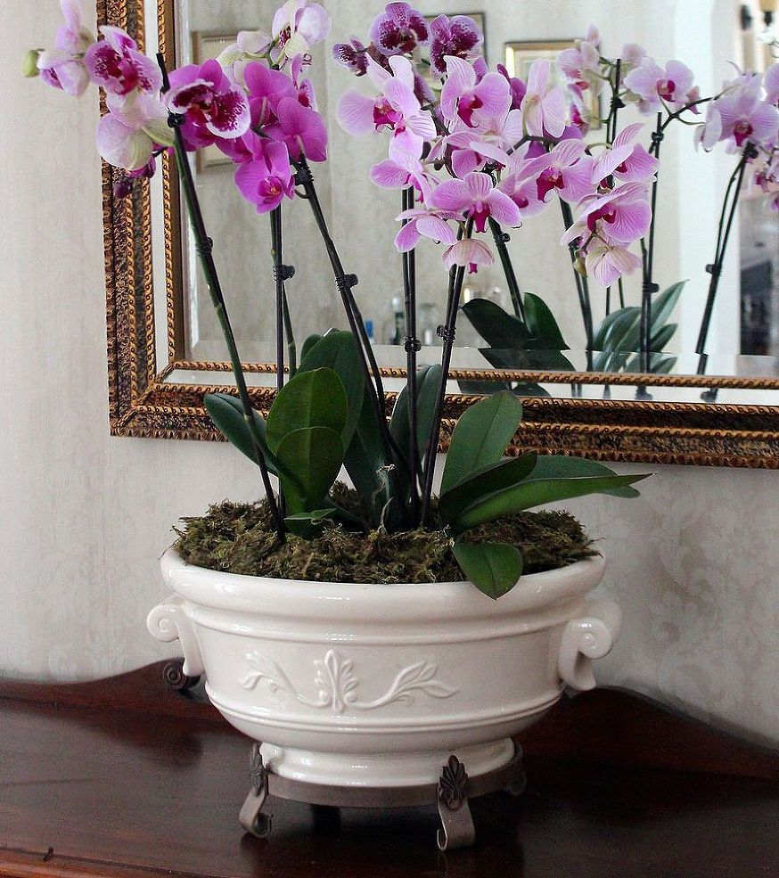 Pink Orchids in a White Pot