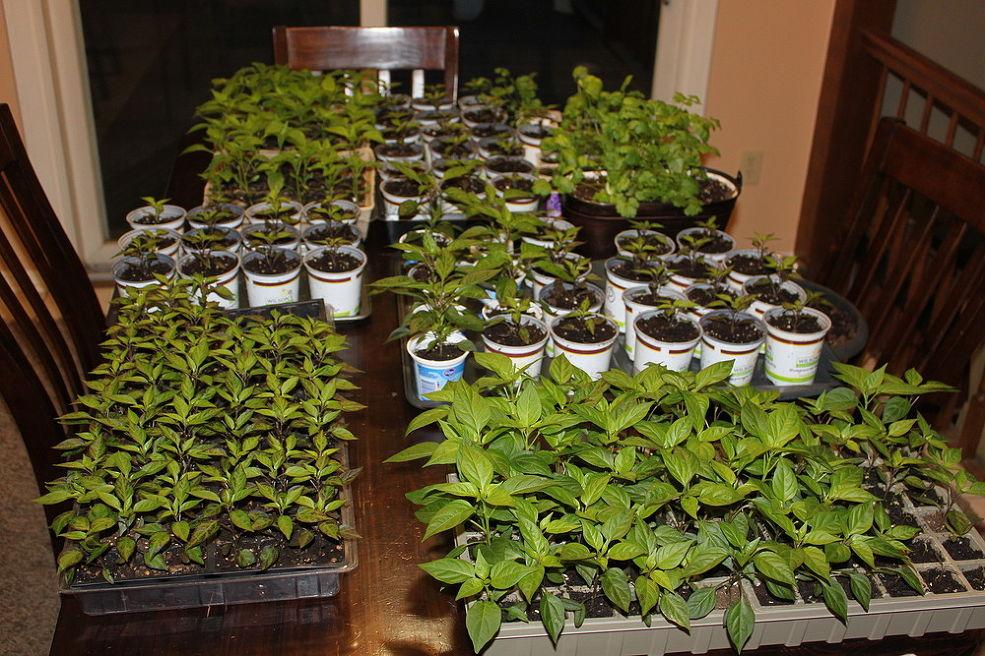 Potted Seedlings Being Grown Indoors