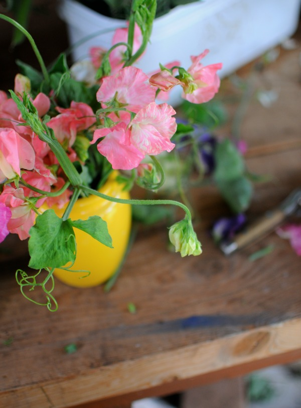 sweet peas on potting bench