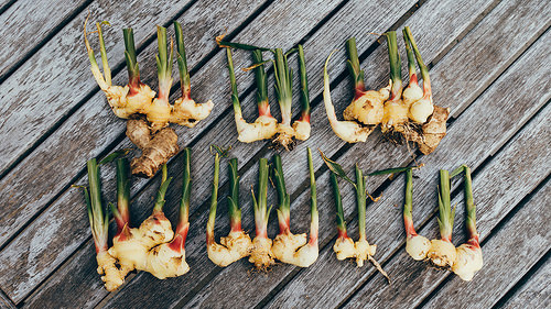 Ginger Harvest