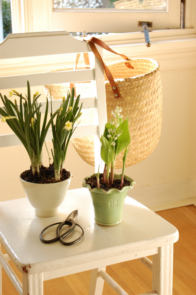 Potted Mini Daffodils on a Table