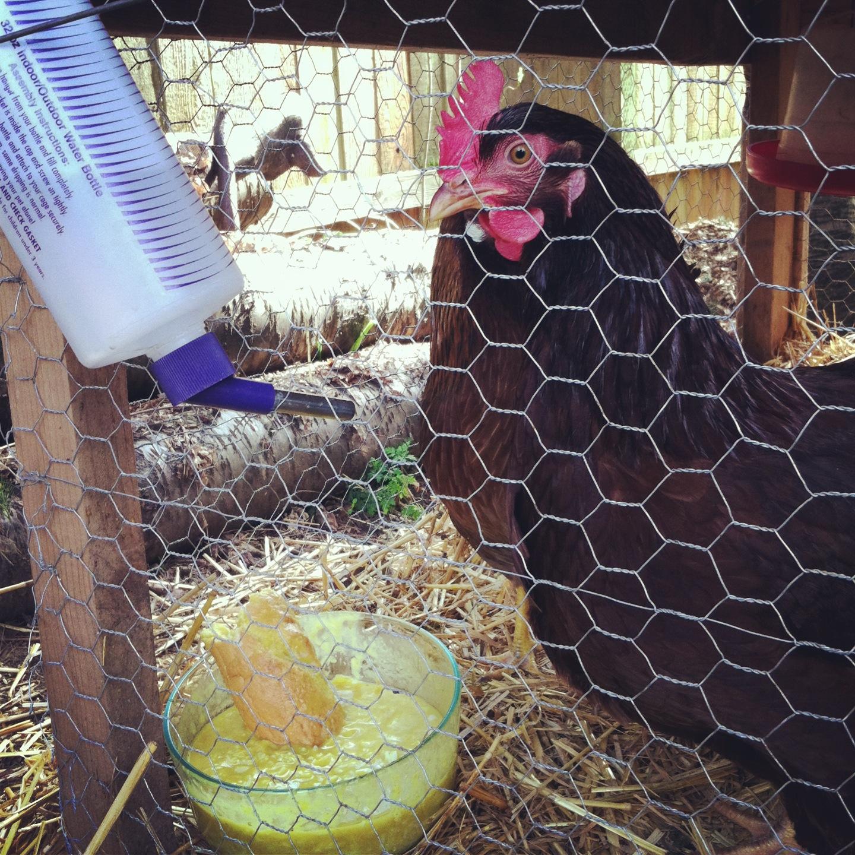 Chicken inside a chicken coop