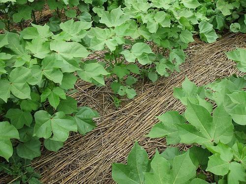 Cover crop photo from USDA NRCS soil health program
