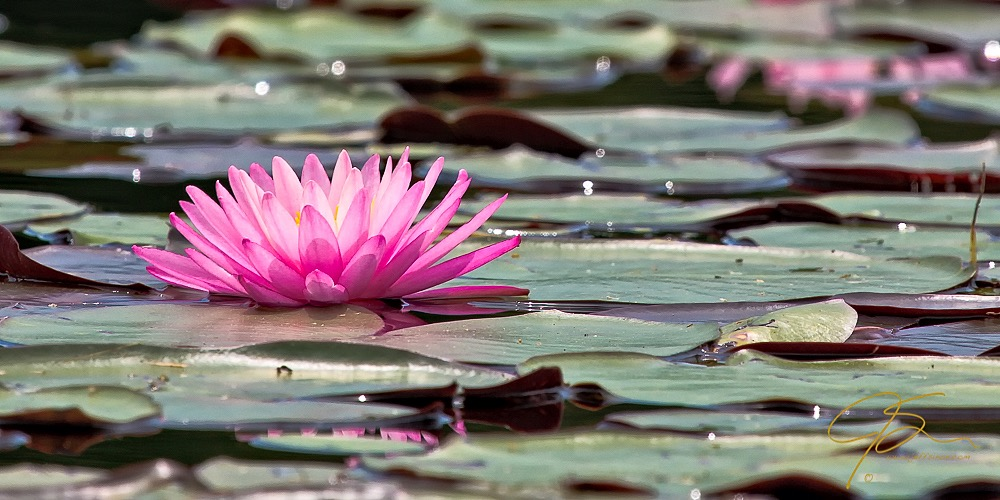 Down low with a hot pink water lily.