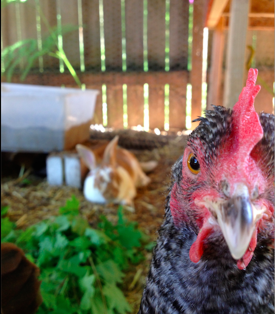 Rooster and a Bunny