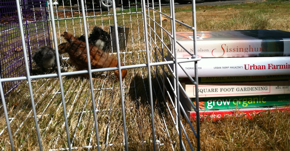 Chickens in a pen next to a stack of urban farming books