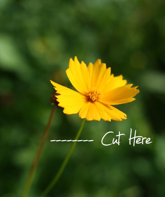 deadheading a yellow flower