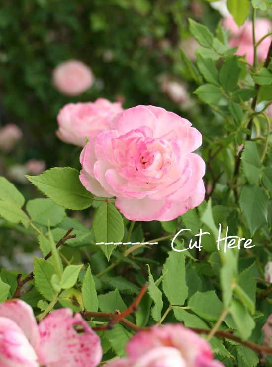 Deadheading a rose