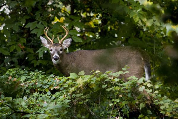 Wildlife photography of deer