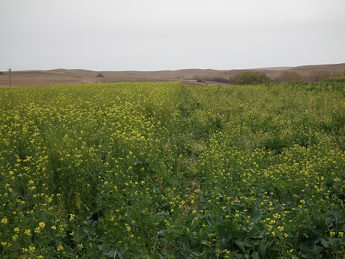 A mustard field in South Dakota shows cover crops