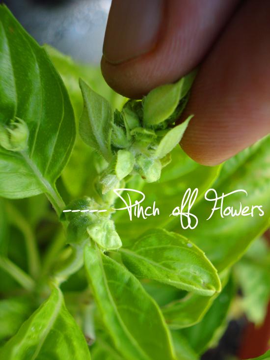 Pinching basil flowers