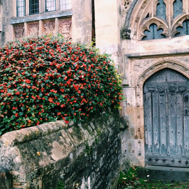 Cotoneaster bush outside a cathedral