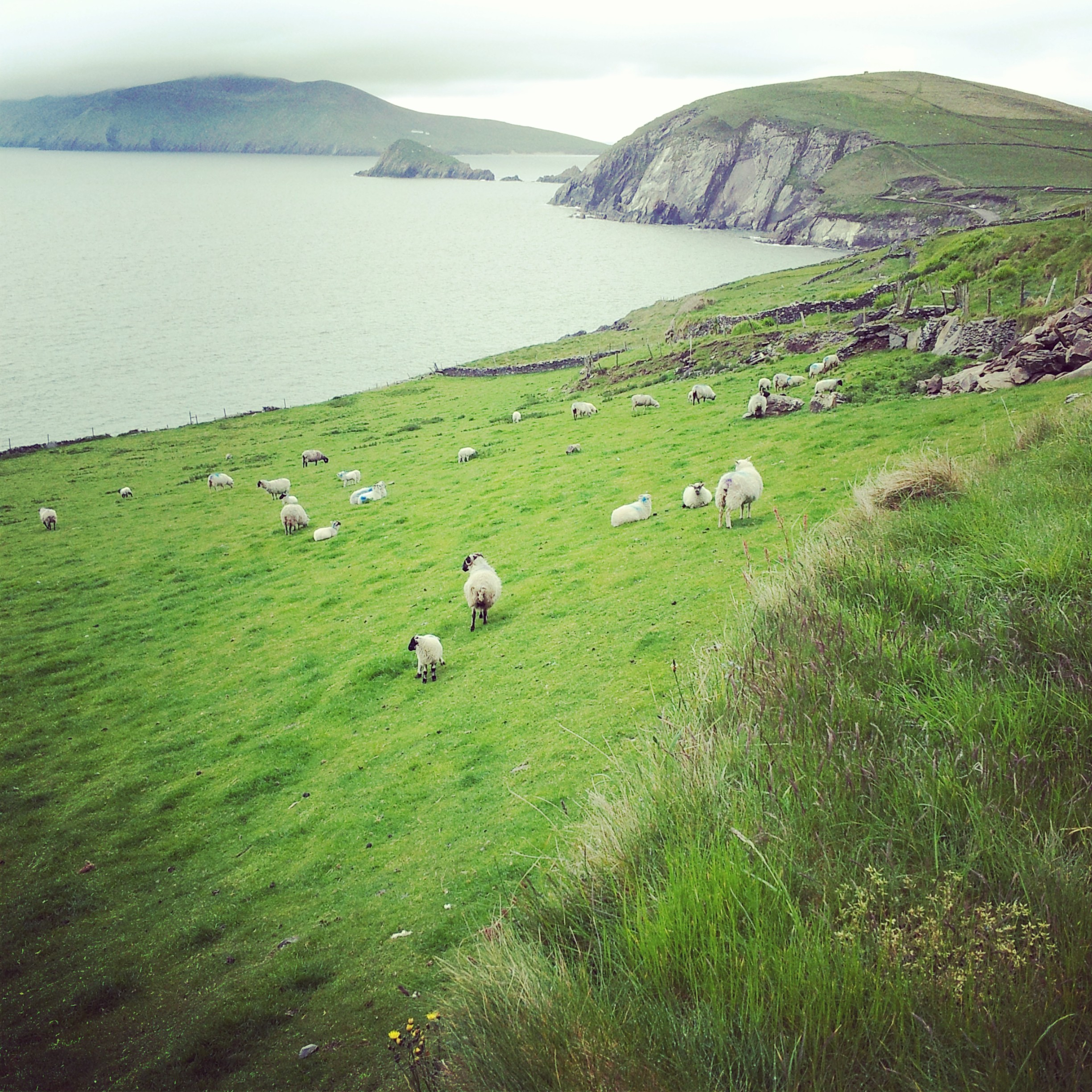 Sheep flock on the West Coast of Ireland