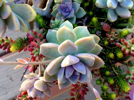 Succulents are ideal for water-wise gardens