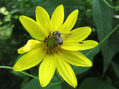 Helianthus divaricatus (woodland sunflower) are native plants for the garden